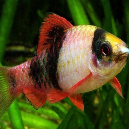 Red Panda Barb Tropical Fish