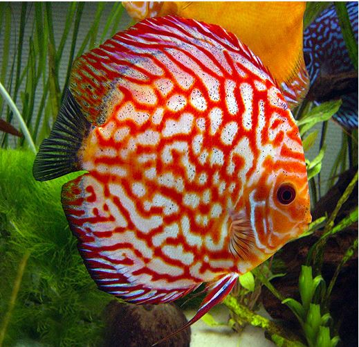 Red Pigeon Blood Discus
