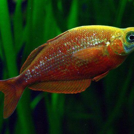 Red Rainbowfish Aquarium Fish