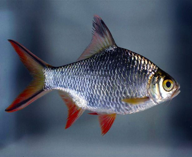 Red Tail Tinfoil Barb Large Size Tropical Fish