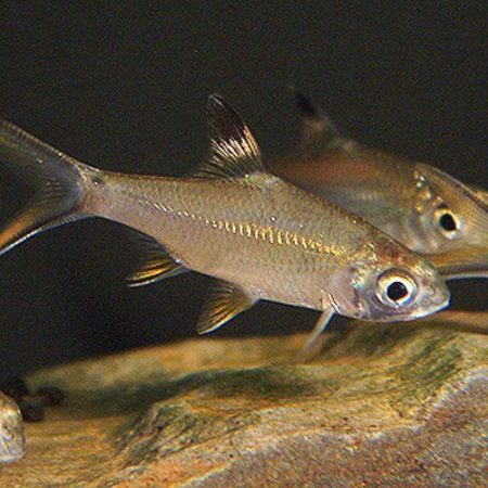 Red Tail Tinfoil Barb Tropical Fish