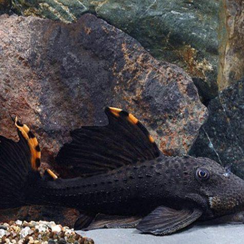 Redfin Blackspot Pleco