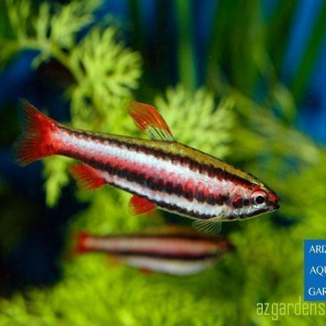 Ruby Red Tropical Pencilfish