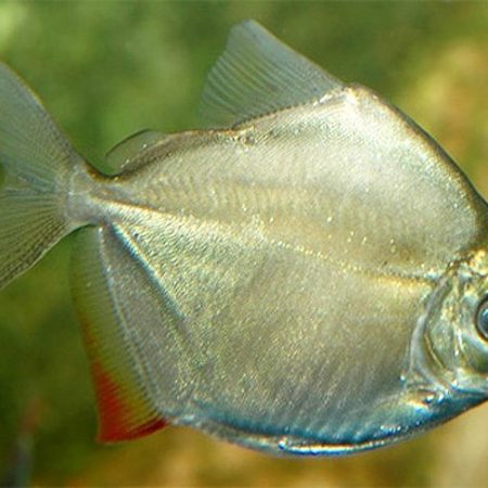 Serrasalminae Silver Dollar Aquarium Fish