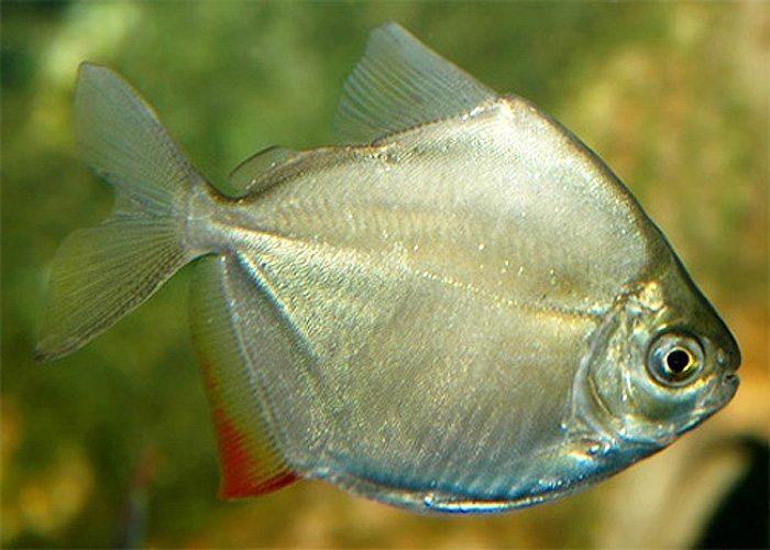 Serrasalminae Silver Dollar Aquarium Fish