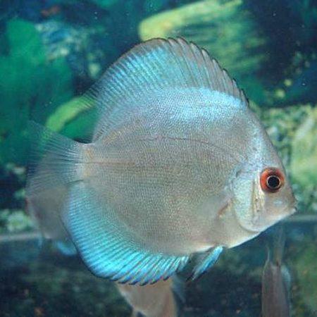Singapore Cobalt Blue Discus Fish