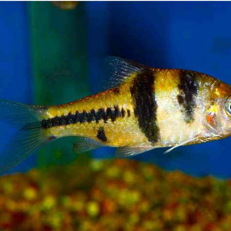 Spanner T-Barb Tropical Fish