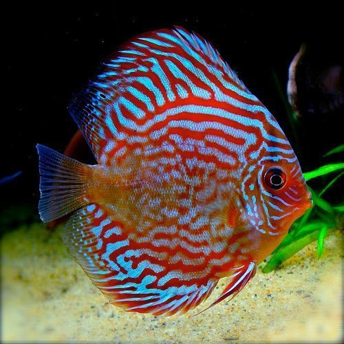 Super Red Turquoise Discus Fish