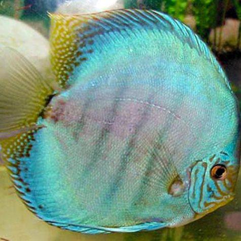Thailand Cobalt Blue Discus Fish