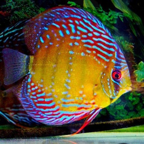 Thailand Discus Fish in Assorted Mixed Colors