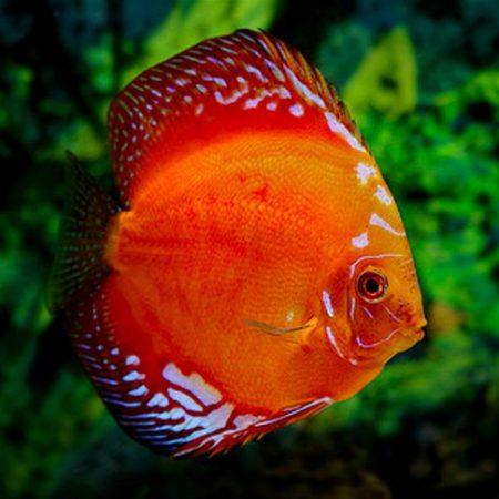 Thailand Red Marlboro Discus Fish