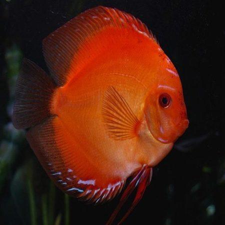 Thailand Red Tomato Discus Fish