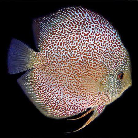 Thailand Snakeskin Discus Fish