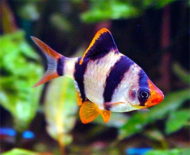Tiger Barb Tropical Fish