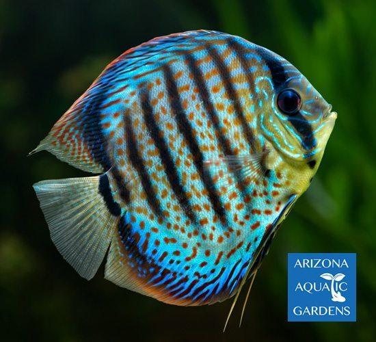 Vietnam Blue Assorted Mixed Discus Arizona Aquatic Gardens