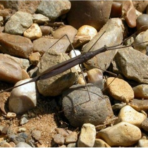Water Scorpion Scavenger Crustacean