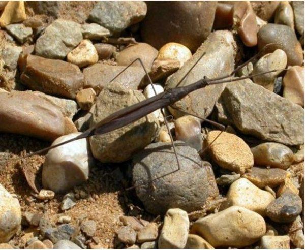 Water Scorpion Scavenger Crustacean