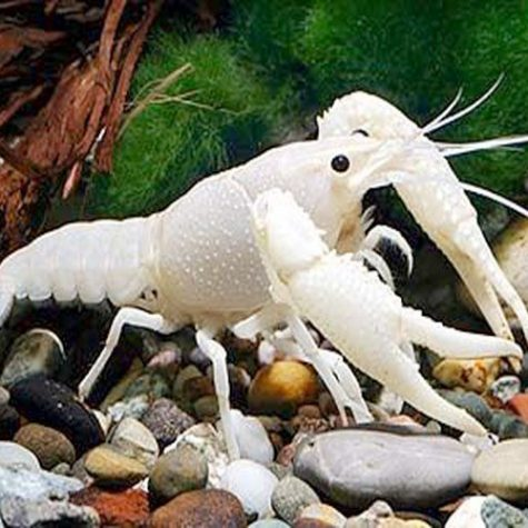 White Ghost Freshwater Lobster