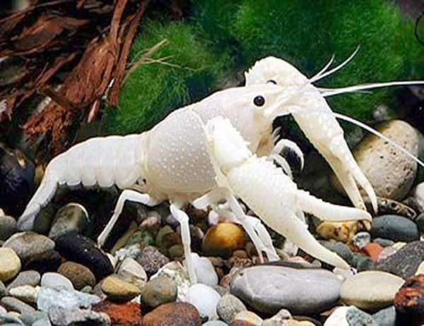 White Ghost Freshwater Lobster