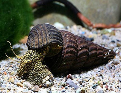 White Spotted Towuti Snail