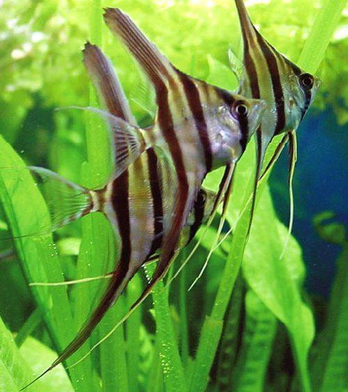 Wild Pterophyllum Altum Angelfish
