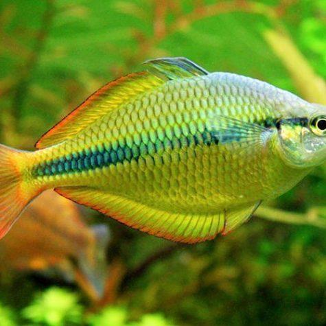 Yellow Rainbowfish Tropical Fish