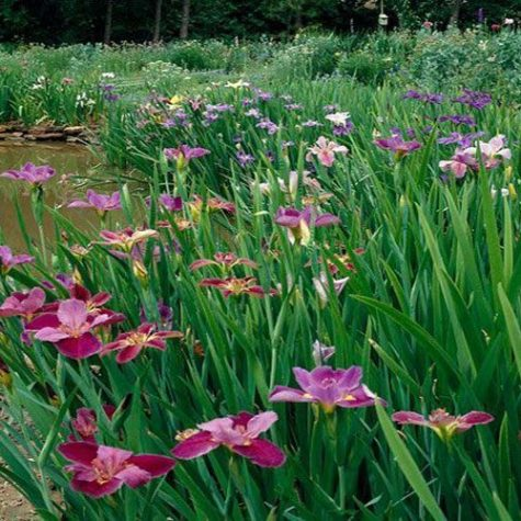 Iris Assortment Pack from Arizona Aquatic Gardens