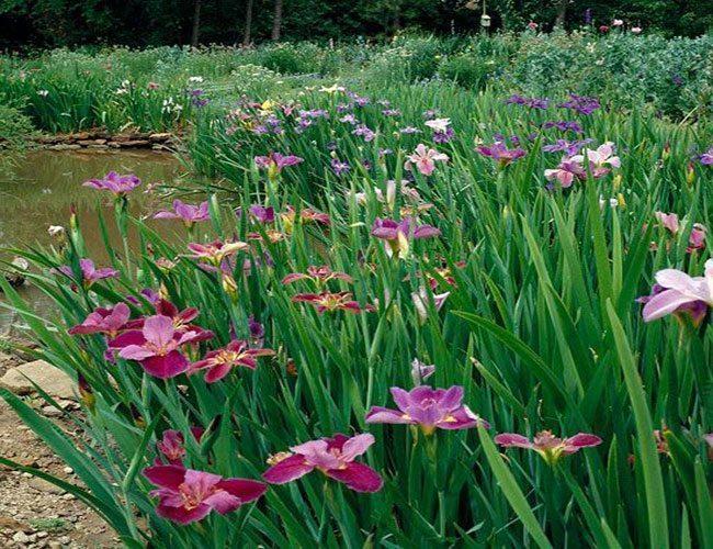 Iris Assortment Pack from Arizona Aquatic Gardens