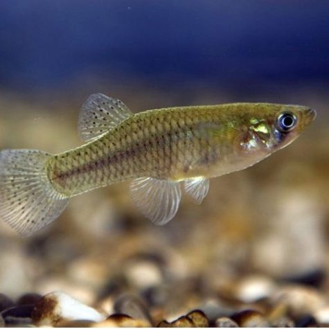 Gambusia Affinis Mosquito Fish