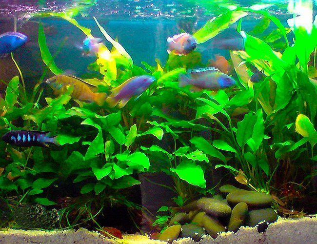 #1 African Peacock Cichlid Pack