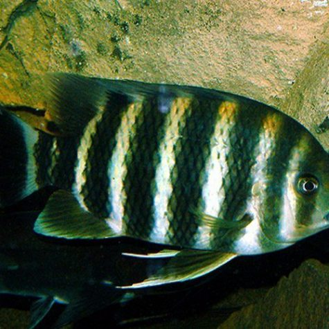 African Buttikoferi Bumble Bee Cichlid