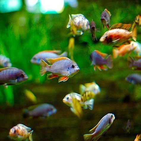 African Cichlid Packs for Non-Planted Aquariums