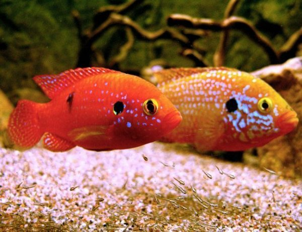 African Fire Jewel Cichlid