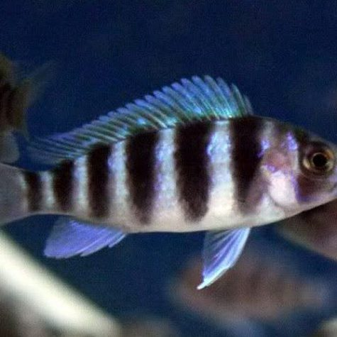 African Frontosa Cichlid, African Cichlids Aquarium Fish