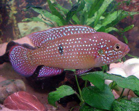 African Red Jewel Cichlid Aquarium Fish