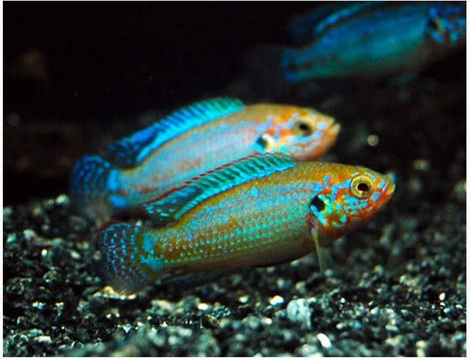 African Turquoise Jewel Cichlid