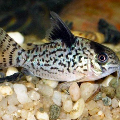 Agassizi Cory Catfish