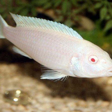 Albino Cichlid White Zombie or Snow White