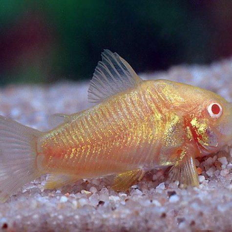 Albino Cory Catfish