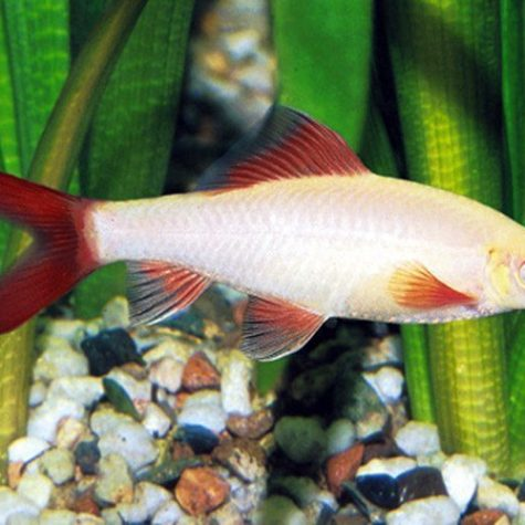Albino Rainbow Tropical Shark