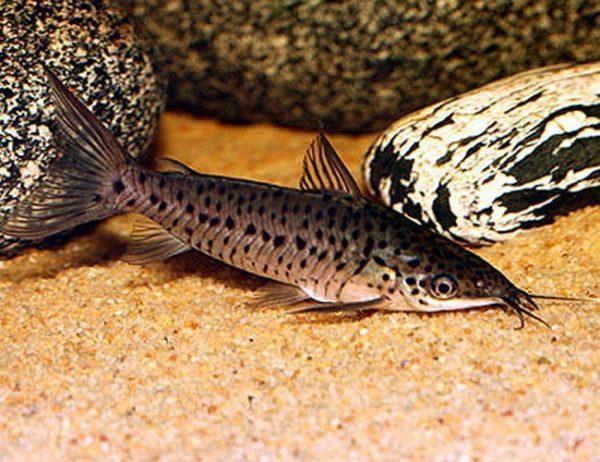 Amazon Porthole Catfish