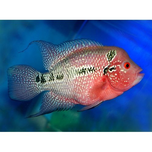 Red Dragon Cichlid, Flowerhorn Cichlid