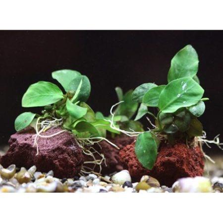 Anubias Barteri Tropical Plant