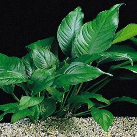 Anubias Caladifolia Aquarium Plant