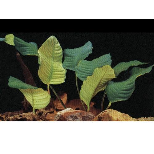 Anubias Coffeefolia Freshwater Aquarium Plant