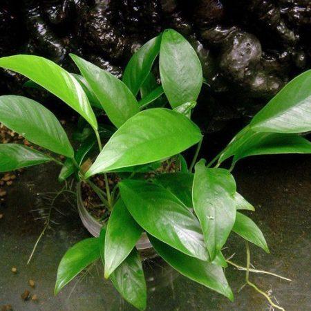Anubias Congensis Aquarium Plant Pot