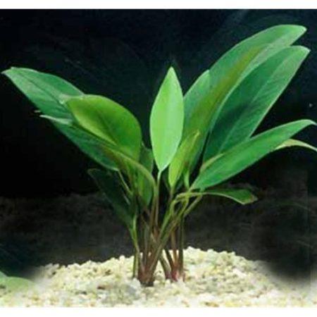 Anubias Gigantea Freshwater Aquarium Plant