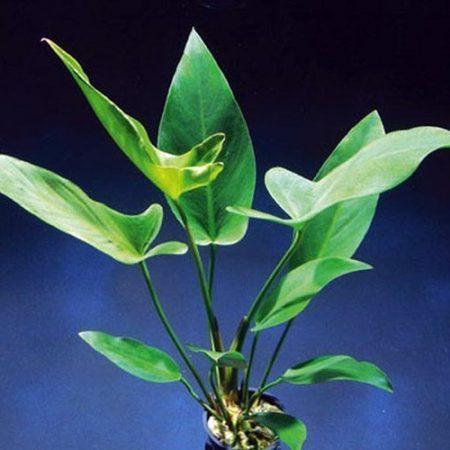 """Anubias Hastifolia 5"""" Pot Monster Mother Aquarium Plant"""