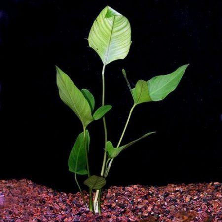 Anubias Hastifolia Grown on Driftwood