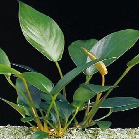 Anubias Kwango Minima Aquarium Plant
